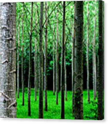 Trees In Rows Canvas Print by Julian Perry