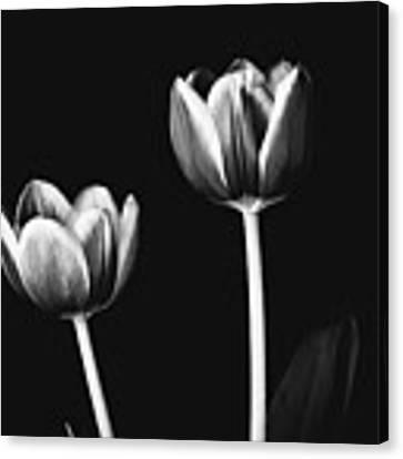Tulip #177 Canvas Print by Desmond Manny