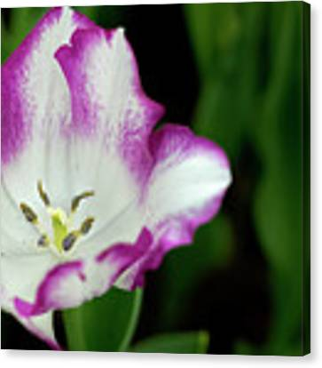Tulip Flower Canvas Print by Pradeep Raja Prints
