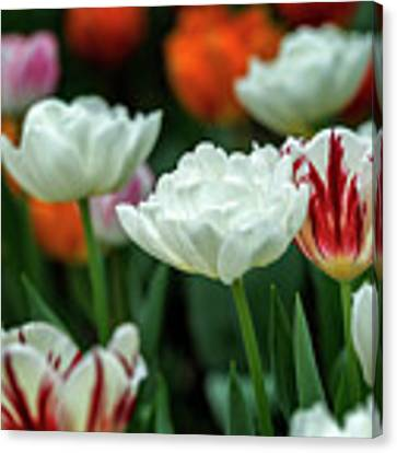 Tulip Flowers Canvas Print by Pradeep Raja Prints