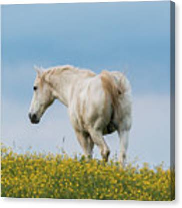 White Horse Of Cataloochee Ranch - May 30 2017 Canvas Print by D K Wall