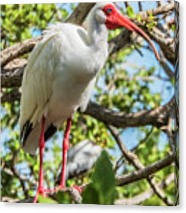 White Ibis In Tree Canvas Print by Bob Slitzan
