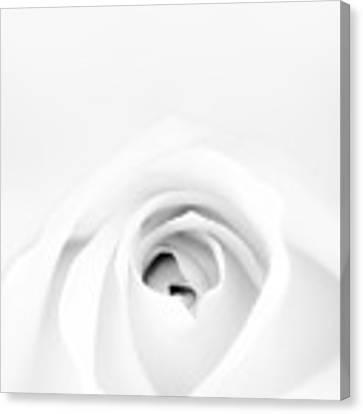 White Rose Canvas Print by Scott Norris