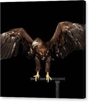 White-tailed Eagle Canvas Print by Sergey Taran