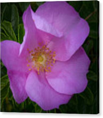 Wild Rose Canvas Print by Garvin Hunter