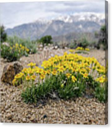 Yellow Mountain Blooms Canvas Print by Margaret Pitcher