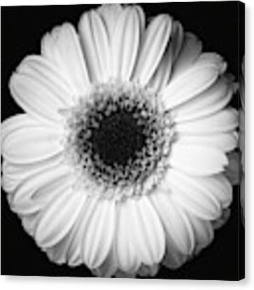 Black And White Flower Canvas Print by Mirko Chessari