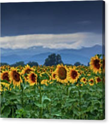 Sunflowers Under A Stormy Sky Canvas Print by John De Bord