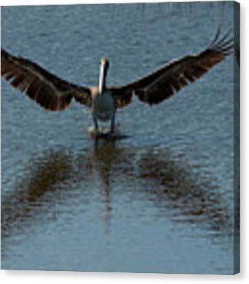 Brown Pelican Landing And Taking Off Looking For Fish Canvas Print by Dan Friend