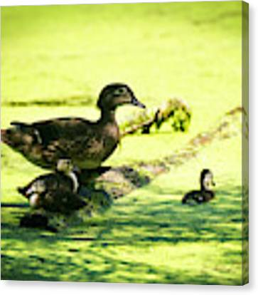 Wood Duck Family Canvas Print by Edward Peterson
