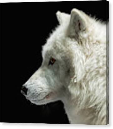 Arctic Wolf In Profile Canvas Print by Susan Rissi Tregoning