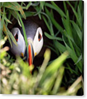 Atlantic Puffin In Burrow Canvas Print by Elliott Coleman