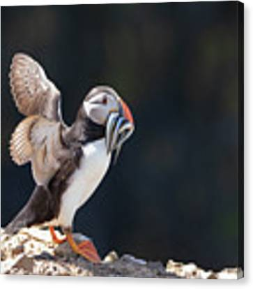 Atlantic Puffin With Sand Eels Canvas Print by Elliott Coleman