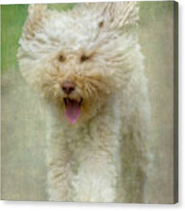 Australien Labradoodle Dog Canvas Print by Heiko Koehrer-Wagner