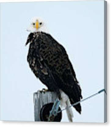 Bald Eagle Watching Me Canvas Print by Edward Peterson