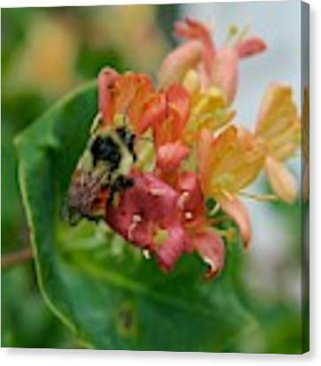 Bee On Wild Honeysuckle Canvas Print by Ann E Robson