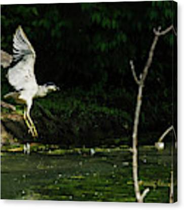 Black-crowned Night Heron In Flight Canvas Print by Edward Peterson