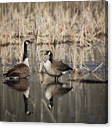 Canada Geese On The Marsh Canvas Print by Jemmy Archer