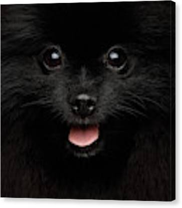Close-up Portrait Of Happy Pomeranian Spitz Dog Canvas Print by Sergey Taran