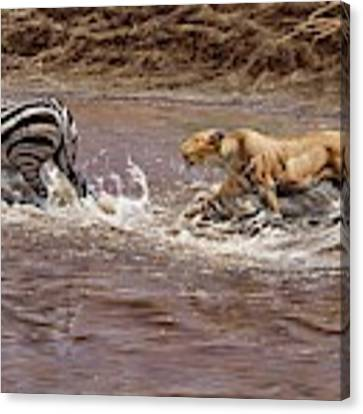 Closing In - Lion Chasing A Zebra Canvas Print by Alan M Hunt