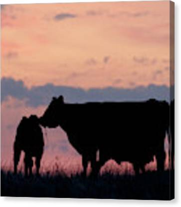 Cow And Calves After Sunset 01 Canvas Print by Rob Graham
