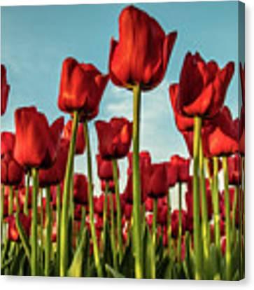 Dutch Red Tulip Field. Canvas Print by Anjo Ten Kate