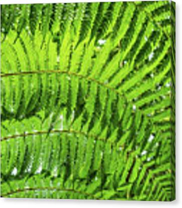 Fern Canvas Print by Nick Bywater