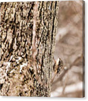 First Brown Creeper Canvas Print by Onyonet  Photo Studios