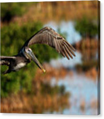 Flying Around Looking For Fish To Eat Canvas Print by Dan Friend