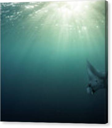 Giant Manta Ray Canvas Print by Nicole Young