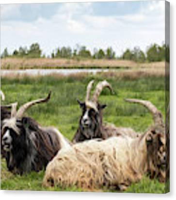 Goats  Canvas Print by Anjo Ten Kate