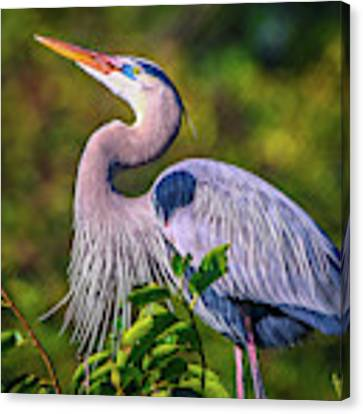 Great Blue In Mating Plumage Canvas Print by Tom Claud