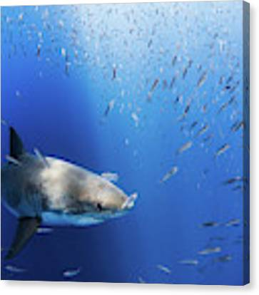 Great White Shark Canvas Print by Nicole Young