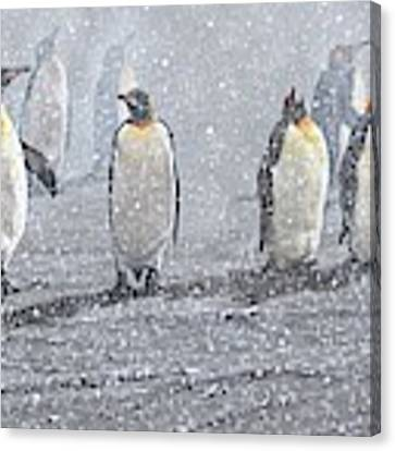 Group Of King Penguins In The Snow Canvas Print by Alan M Hunt