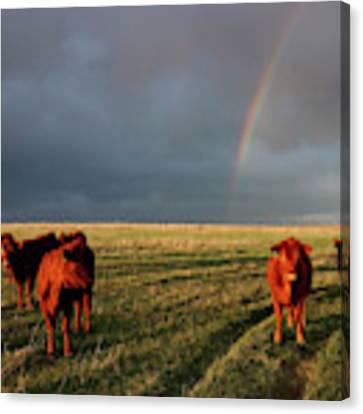 Heifers And Rainbow Canvas Print by Rob Graham