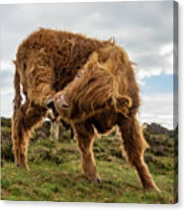 Highland Cow Having A Scratch Canvas Print by Scott Lyons