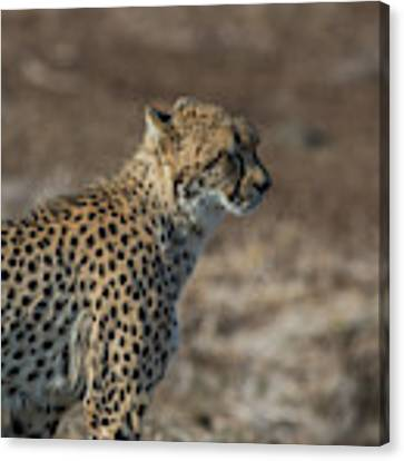 LC5 Canvas Print by Joshua Able's Wildlife