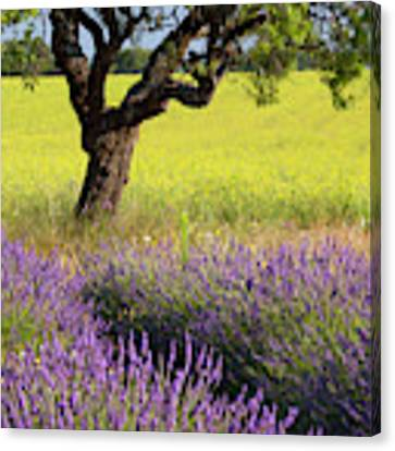 Lone Tree In Lavender And Mustard Fields Canvas Print by Brian Jannsen