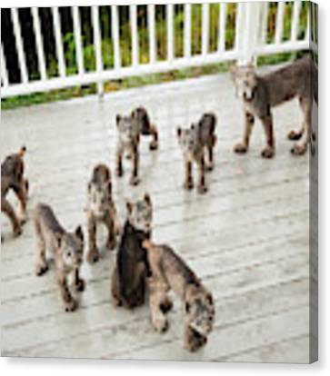 Lynx Family Portrait 11x14 Canvas Print by Tim Newton