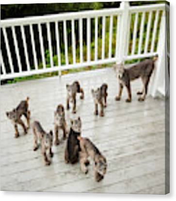 Lynx Family Portrait Canvas Print by Tim Newton