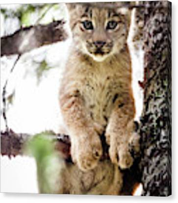 Lynx Kitten In Tree Canvas Print by Tim Newton