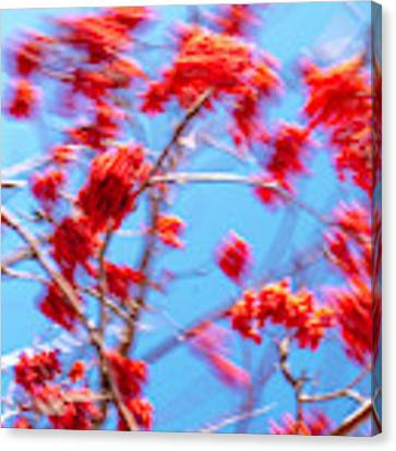Mountain Ash Tree With Berries In Very Strong Wind Canvas Print by Dutch Bieber
