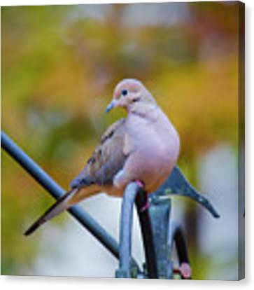 Mourning Dove Canvas Print by Robert L Jackson