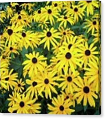 M's Black Eyed Susan Cluster Canvas Print by Dee Flouton