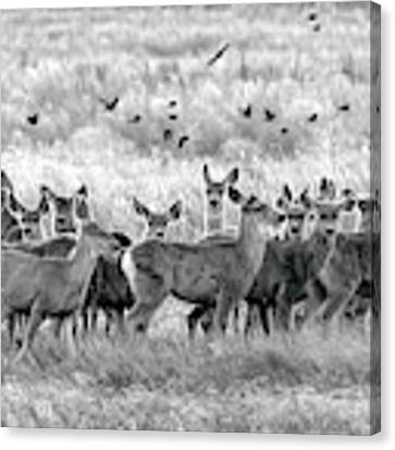 Mule Deer Black And White 01 Canvas Print by Rob Graham