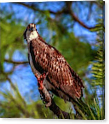 Osprey Lookin' At Ya Canvas Print by Tom Claud