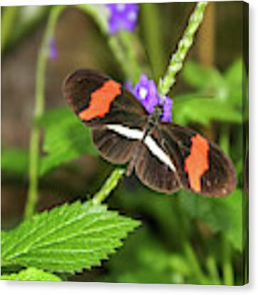 Postman Butterfly 1 Canvas Print by Dawn Richards