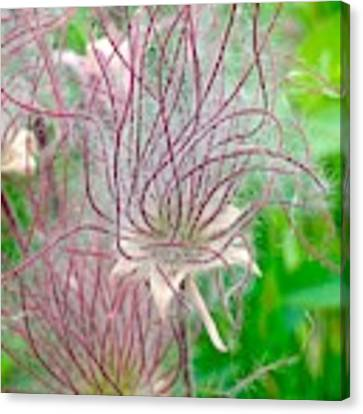 Prairie Smoke Canvas Print by Ann E Robson