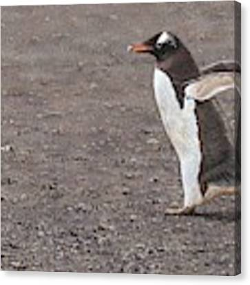 Quick Hurry - Gentoo Penguin By Alan M Hunt Canvas Print by Alan M Hunt
