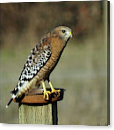 Red-shouldered Hawk Canvas Print by Ben Upham III